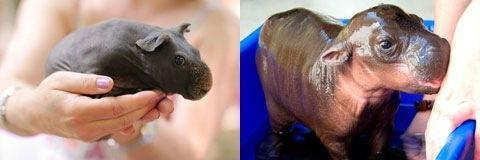 Как понять беременна ли морская свинка
