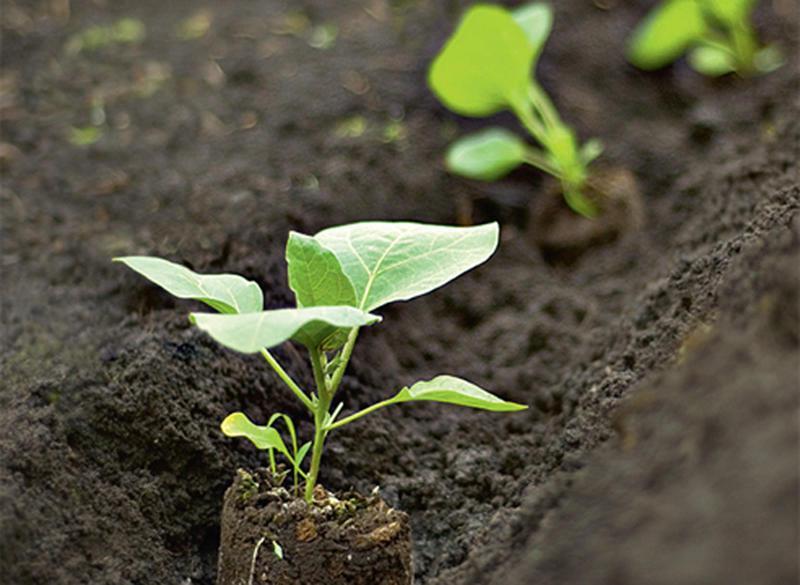 Когда сеять рассаду баклажан в сибири 41